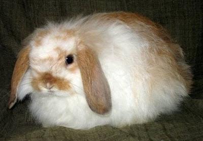 jenis kelinci american fuzzy lop
