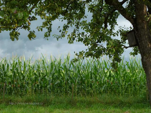 Apfelbaum mit Maisfeld - 12tel Blick am 31.07.16