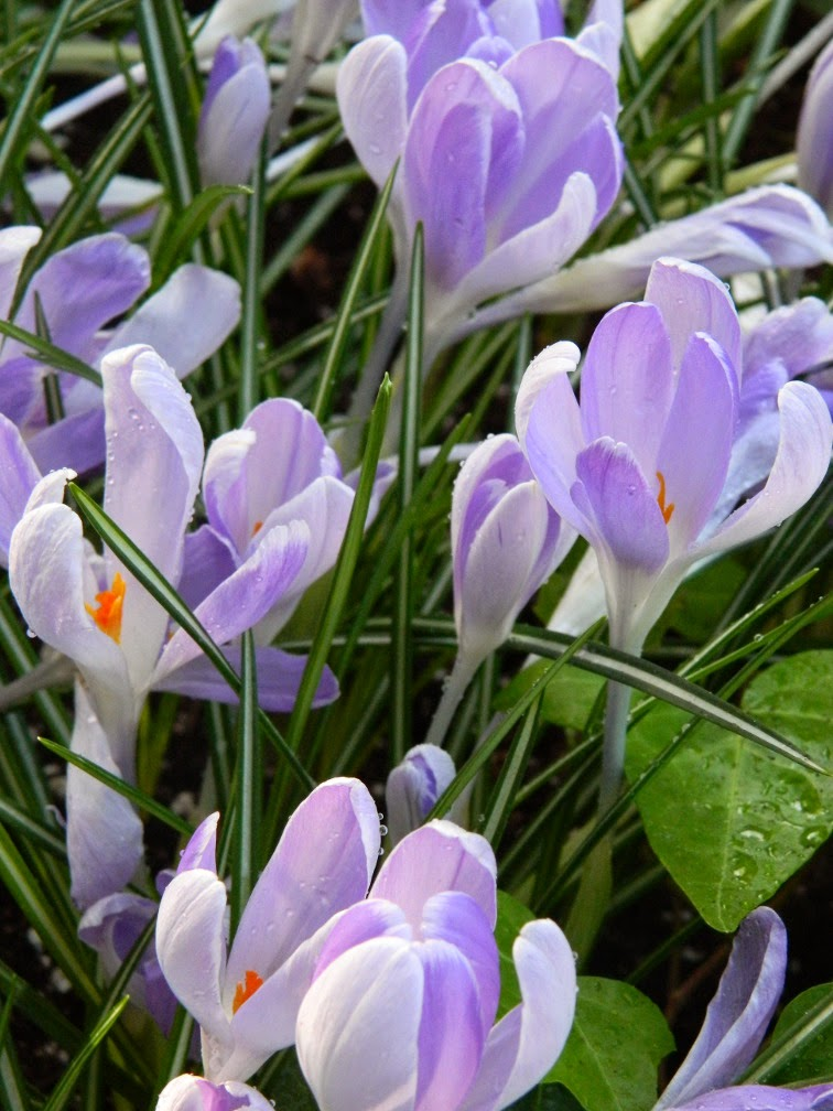 Crocus  Vanguard Allan Gardens Conservatory 2015 Spring Flower Show by garden muses-not another Toronto gardening blog