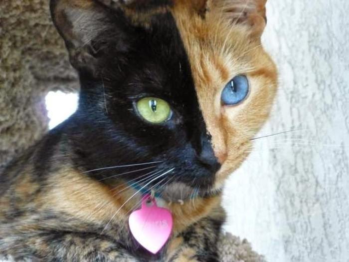 Venus, a különleges kiméra macska
