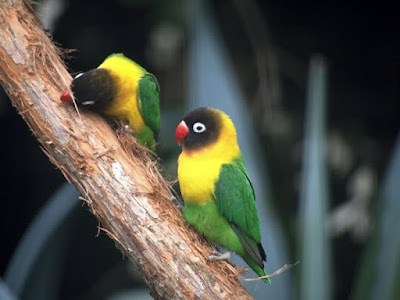 solusi lovebird bertelur lebih cepat dan sehat