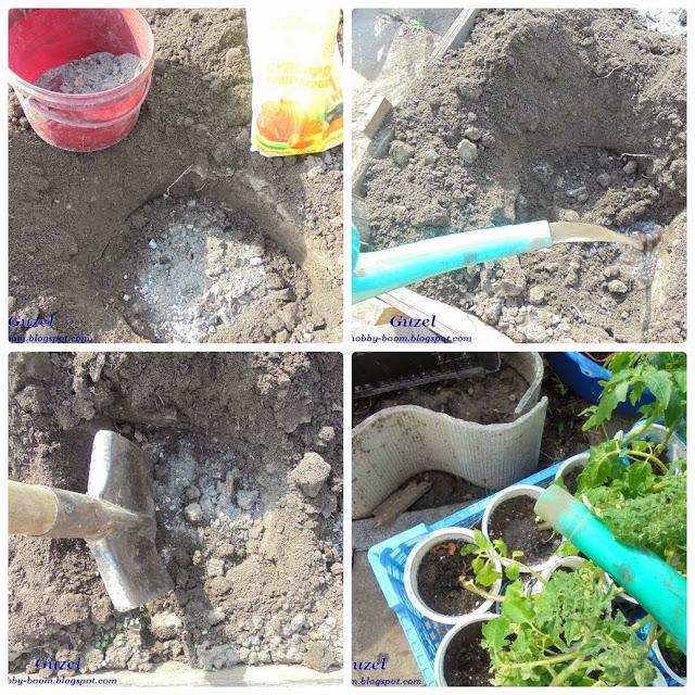 этапы посадки помидоров