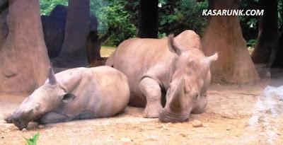 jalan jalan, kebun binatang, taman safari, kandang badak