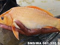 Essen Ikan Mas Indukan Aroma Seribu Bunga