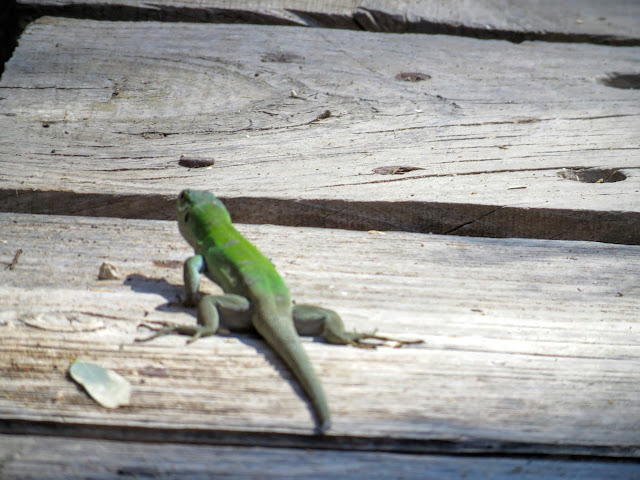 Road trip in Sicily - Lizard on the boardwalk