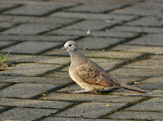 Cara mengatasi Burung Perkutut Macet Bunyi Akibat Stres
