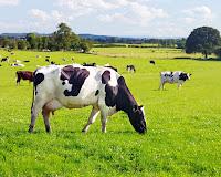 Büyük bir merada otlayan inekler