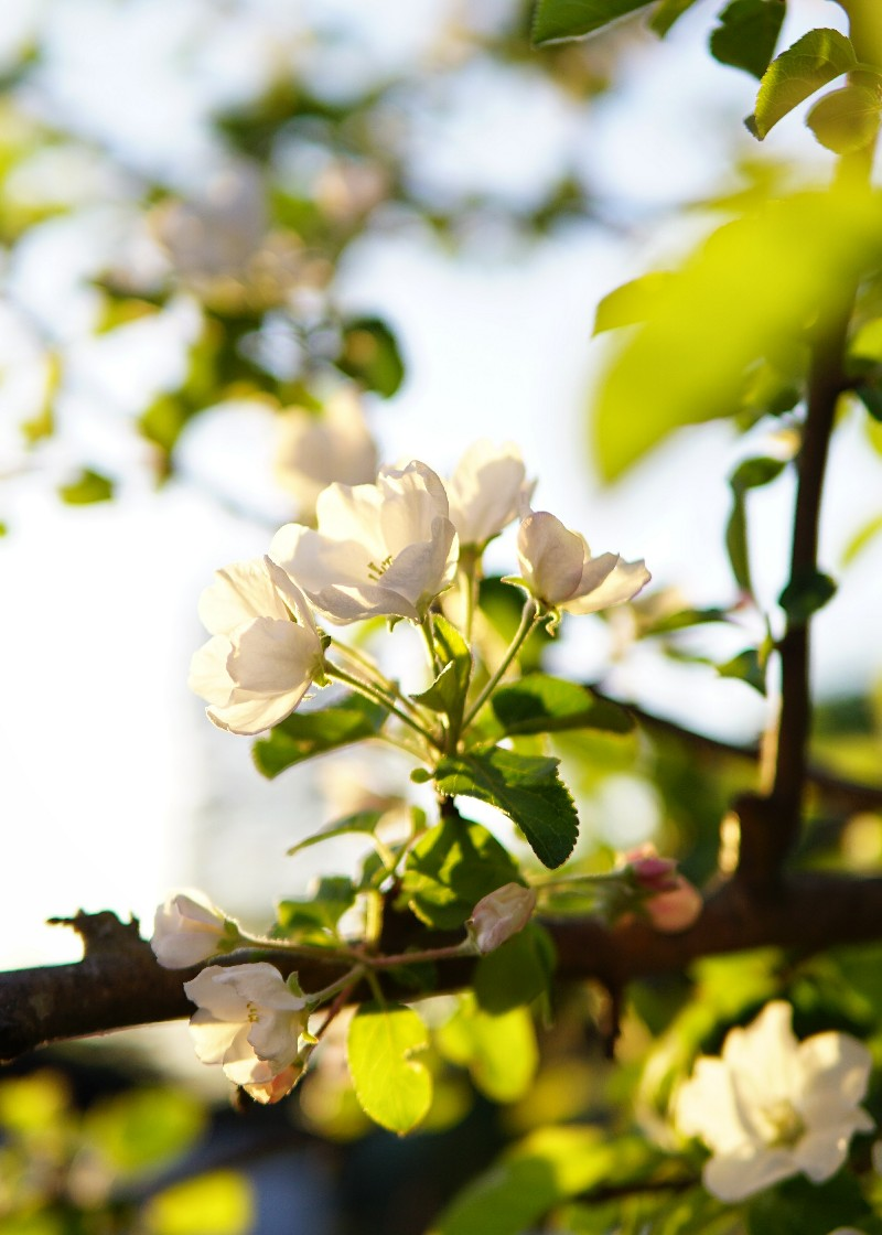 Omenapuu, toukokuu