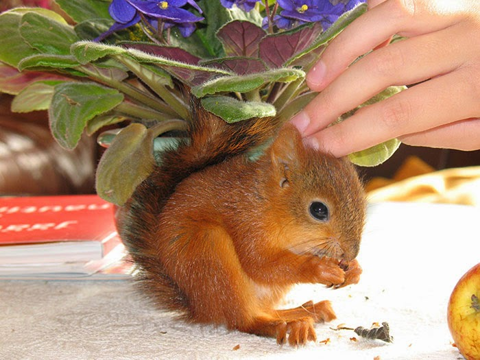 injured baby squirrel finland-4