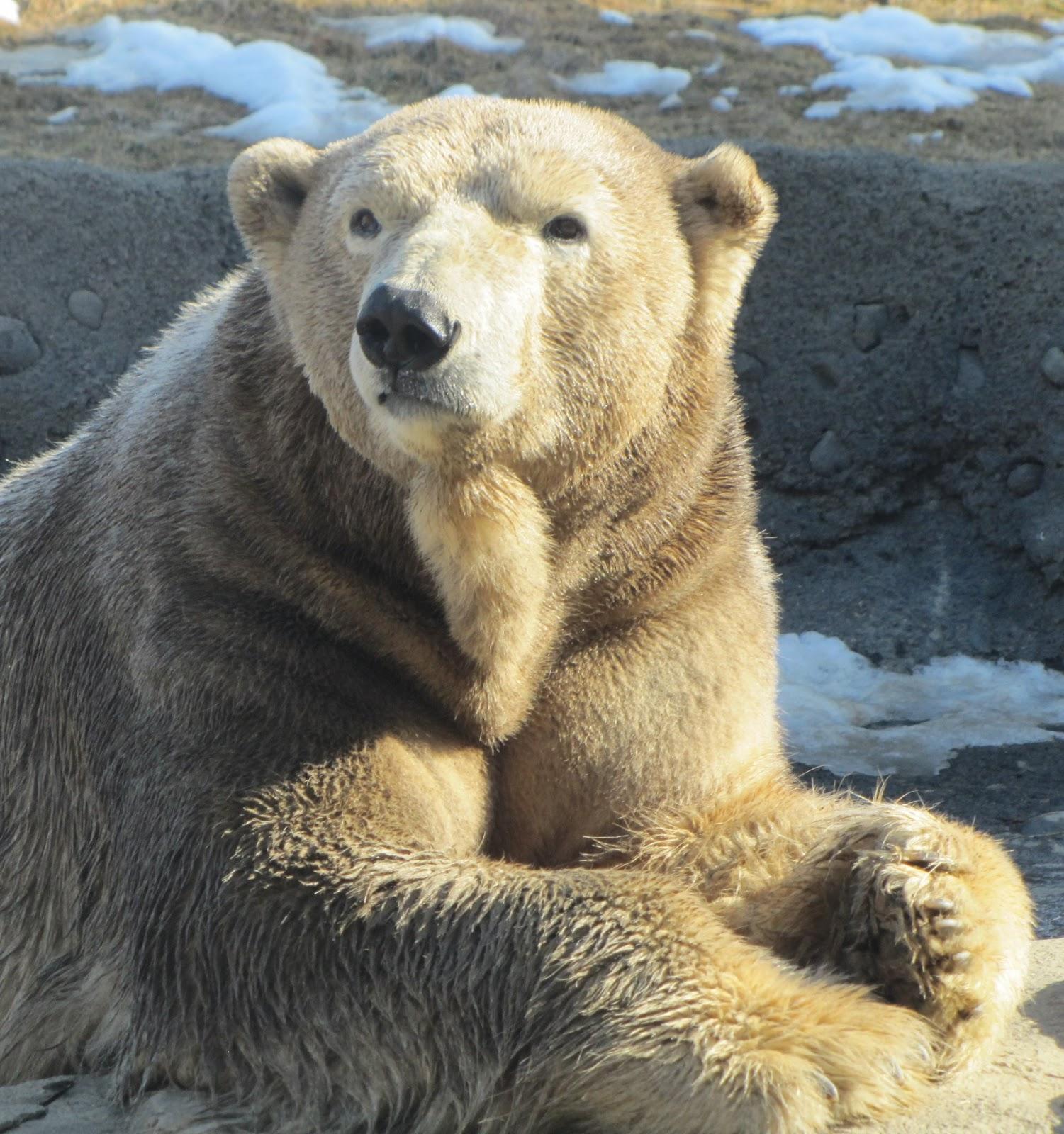 Nanuq of the Columbus Zoo My Polar