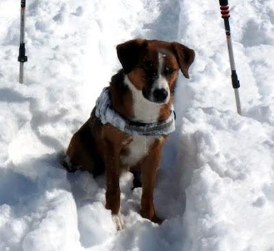 Austrian Pinscher as a good mountain rescue dog