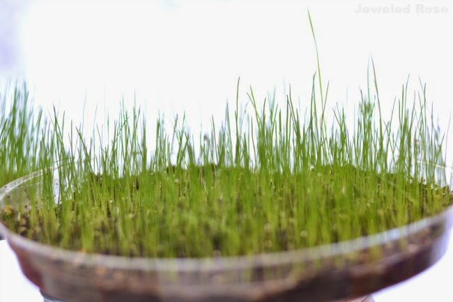 FUN PROJECT FOR KIDS: GROW YOUR OWN BASKET GRASS (My kids loved this!) #easterbasketideas #easterbaskets #eastercraftsforkids #easteractivitiesforkids #eastercrafts #easterbasketgrass #howtogrowyourowneasterbasketgrass