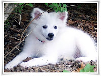 Eskimo Dog Animal Pictures