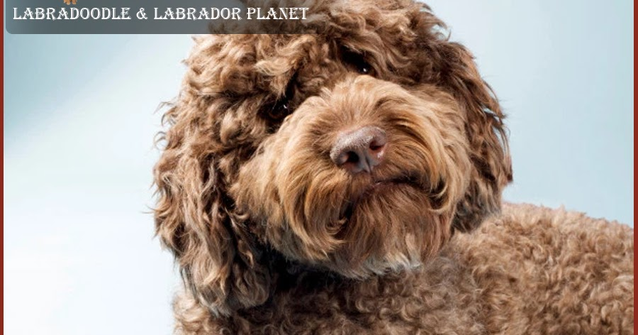 LABRADOODLE DOGS WHICH ARE FAMOUS AMONG THE PEOPLE BECAUSE OF THEIR UNIQUE CHARACTERISTICS ARE AVAILABLE FOR SALE