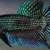Cara Membuat Gigi Ikan Cupang Tajam