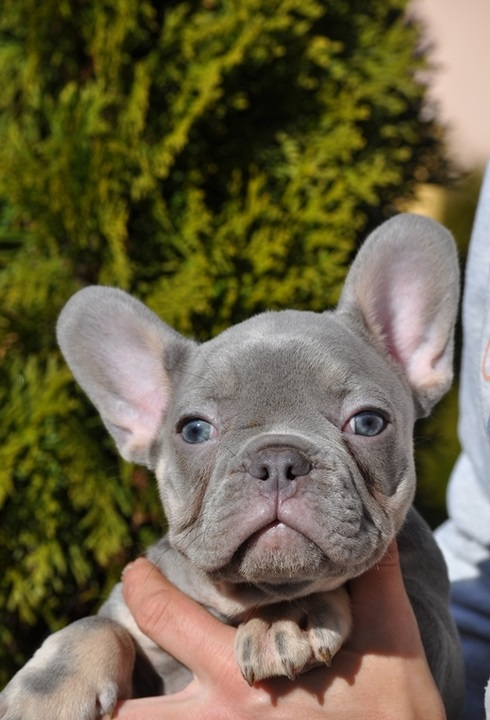 French Bulldogs Puppies For Sale Near Me