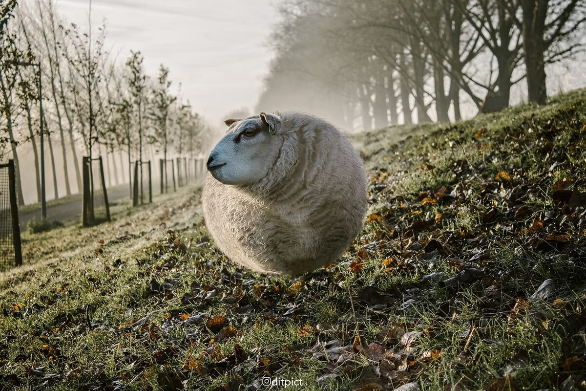 11-Sheep-Aditya-Aryanto-Surreal-Animals-Ball-Photo-Manipulations-www-designstack-co