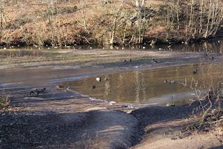 An einem halb zugefrorenen See stehen Enten