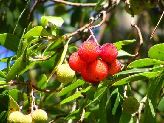 unkrautgourmet wildkr uter und wildpflanzen essen der erdbeerbaum eine mediterane wildfrucht. Black Bedroom Furniture Sets. Home Design Ideas