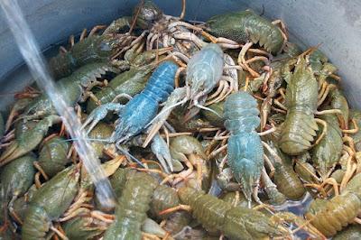 Απαγόρευση αλιείας της καραβίδας στα υδάτινα οικοσυστήματα της Ηπείρου