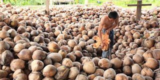 proses pembuatan kopra kelapa indonesia