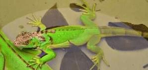 cara memandikan iguana