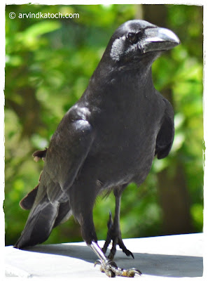 Jungle Crow, Front