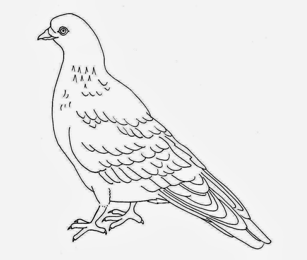 Colour Drawing Free Wallpaper: Pigeon Coloring Drawing