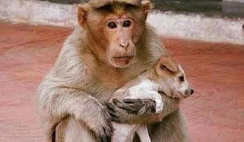 Yavru Köpekleri Gören Maymundan İnsani Davranışlar