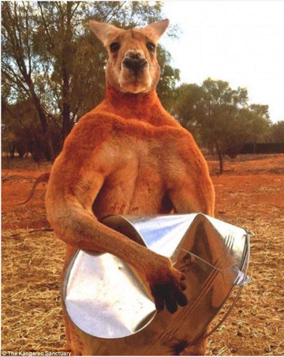 Conozcan a Roger, el canguro que está esperando cualquier provocación para darte una lección
