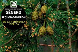 El género Sequoiadendron arboles que pueden vivir hasta 3.0000 años, alcanzan los 100 m. de altura