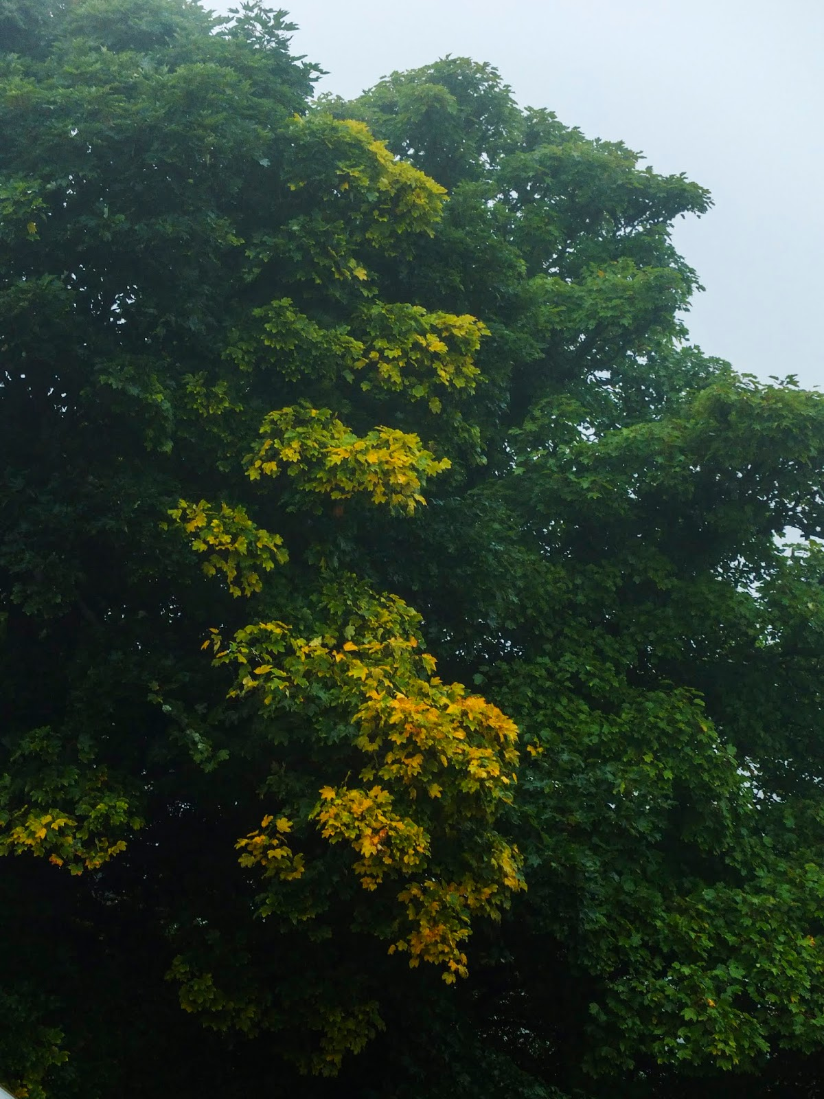 Maple tree leaves beginning to change their colour and yellowing on the edges.