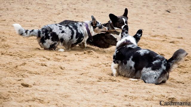 narew, zegrze, zalew zegrzyński, zalew, woda, pies w podróży, podróże z psem, z psem nad wodą, plaża, plaża nad zegrzem, yuma, biba, twiggy, corgi, welsh corgi, welsh corgi cardigan, cardigan
