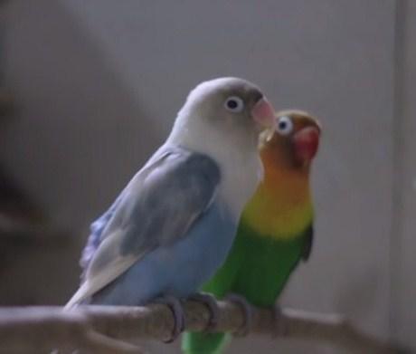 6 Cara Dan Tips Mengatasi Mencret Pada Burung Love Bird ...