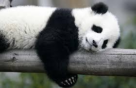 Pandas consomem até 14 k de alimento por dia