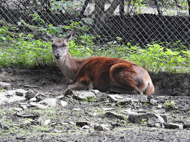 jelenie w Nowym Tomyślu mają bardzo duży wybieg