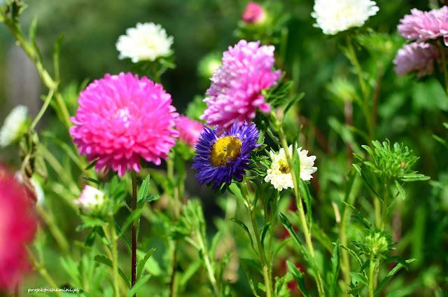 Kwitnące astry