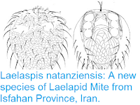 http://sciencythoughts.blogspot.co.uk/2016/05/laelaspis-natanziensis-new-species-of.html