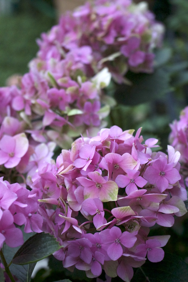 Hydrangeas- Hot Summer Flowers- www.gildedbloom.com