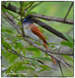 Female, Asian Paradise Flycatcher