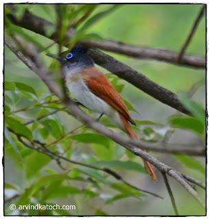 Female, Asian Paradise Flycatcher