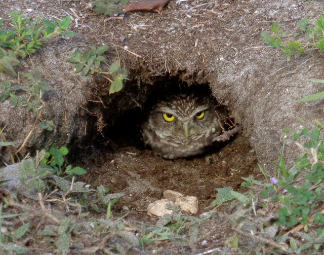 Burrowing Owl Nest