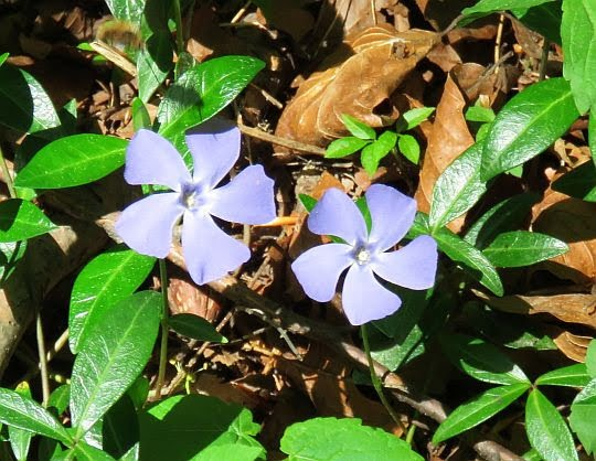 Barwinek pospolity (Vinca minor L.).