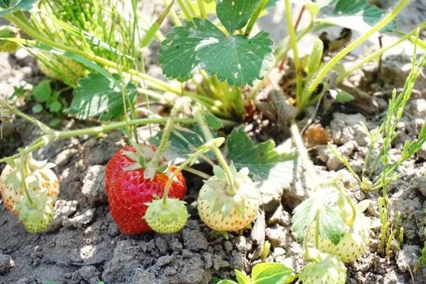 dojrzewające truskawki w ogrodzie