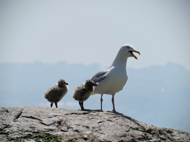 Day trip to Ireland's Eye Island - seagull and chicks