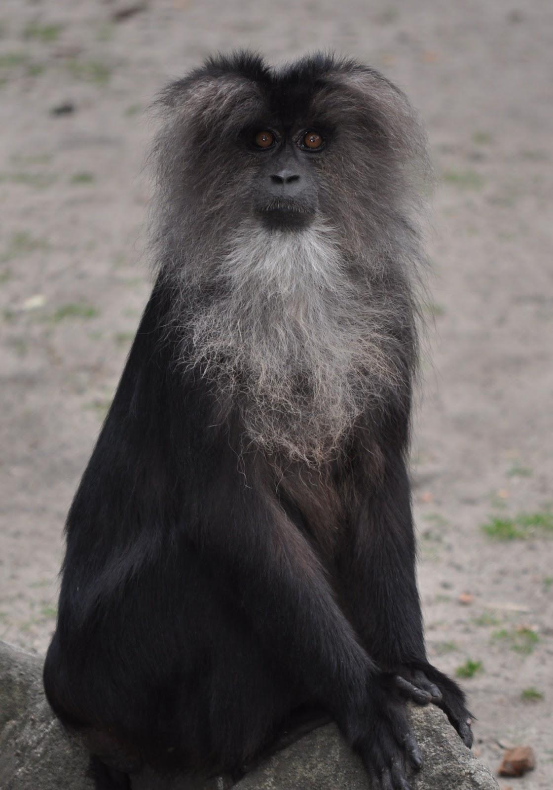 zootografiando mi colecci n de fotos de animales macaco le n macaca silenus. Black Bedroom Furniture Sets. Home Design Ideas