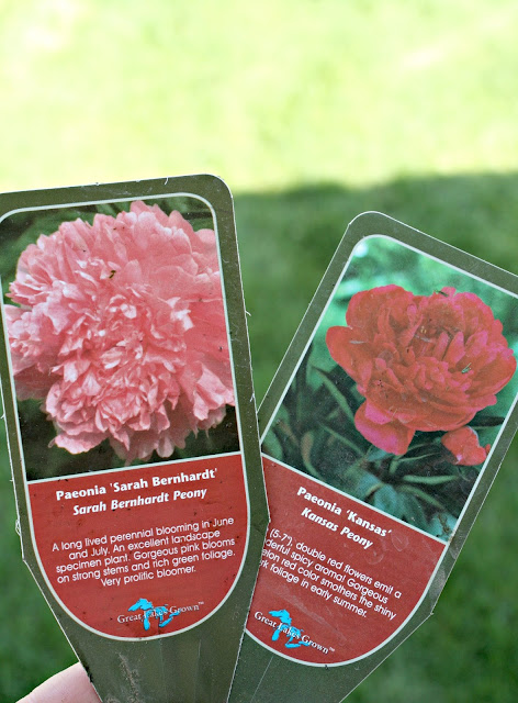 How to successfully grow peonies