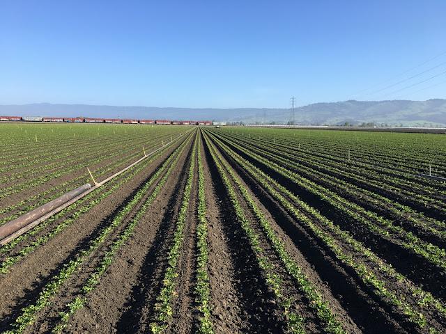 celery field long shot