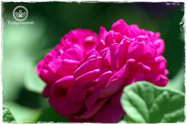 Rosen sammeln und selbst vermehren - Buchtipp - Rose de Resht - Gartenblog Topfgartenwelt