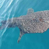 They're back! Whale sharks sightings in Boracay prove clean-up success